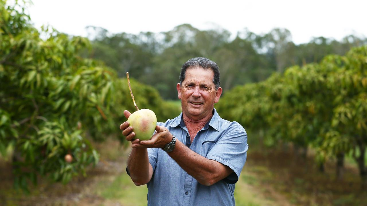 Mango growers are exploring options to export a surplus of fruit that is grown in Far North Queensland. Gennaro Arena of Barron River Gold Mangoes exports all of his R2E2 mangoes grown on his orchid near Mareeba to the Middle East. PICTURE: BRENDAN RADKE