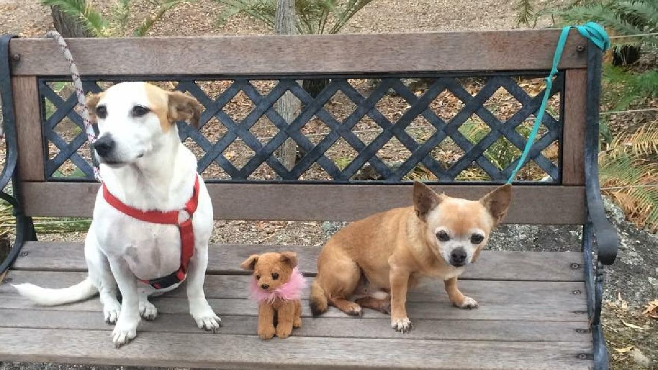 Max the chihuahua (right) was 15 years old when killed by a rogue dog on Saturday.