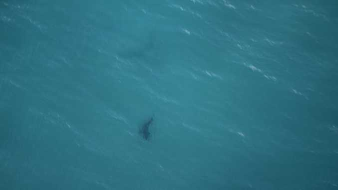 A whaler shark was spotted at Tallow Beach, Byron Bay.
