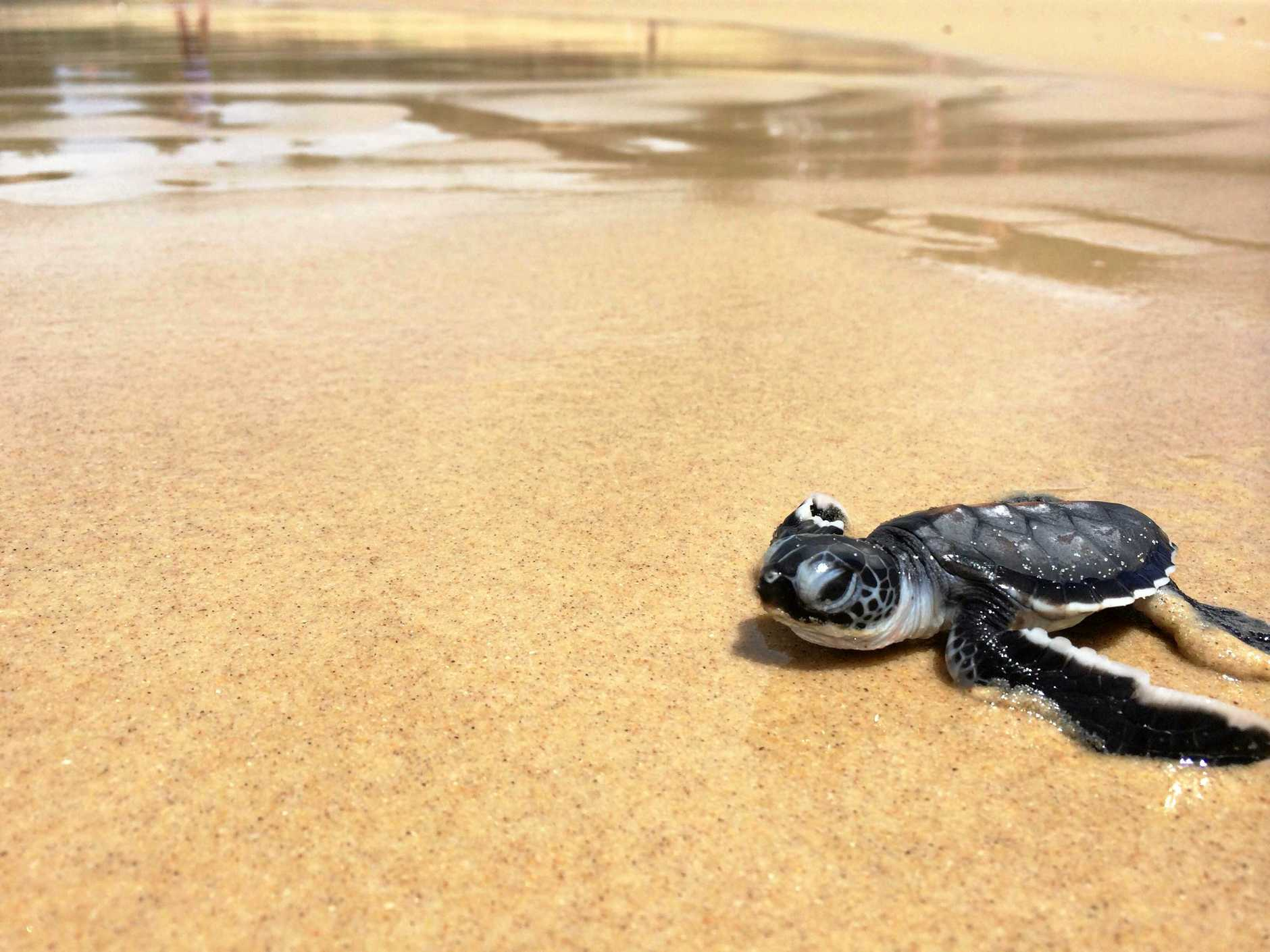 Sunshine Coast Council is hosting a beach clean-up event to help the hundreds of green sea turtle (pictured) and endangered loggerhead turtle hatchlings have a safer pathway into the water.