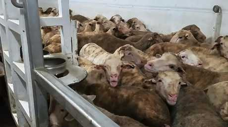Video on 60 Minutes showed animals clearly suffering. Picture: YouTube
