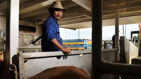A stockman overseas the welfare of healthy cattle being prepared for live export. Picture: Keri Megelus