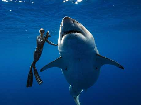 Not on the menu … the gorged, and likely pregnant, Deep Blue showed little interest in the divers admiring her. Picture: @JuanSharks/Juan Oliphant/OneOceanDiving.Com