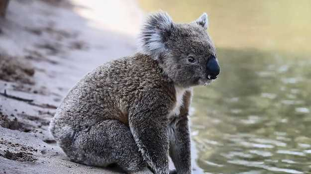 A koala has been filmed hanging out by a river as temperatures hit 42C in Narrandera, New South Wales.