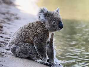 Koala hits the water to escape heat
