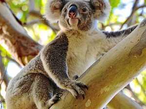 See a koala up close at Noosa Australia Day Festival