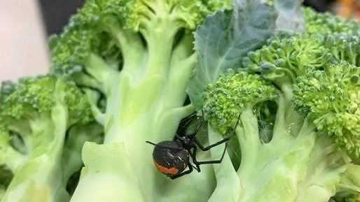 Gympie mum finds deadly hitchhiker in supermarket broccoli