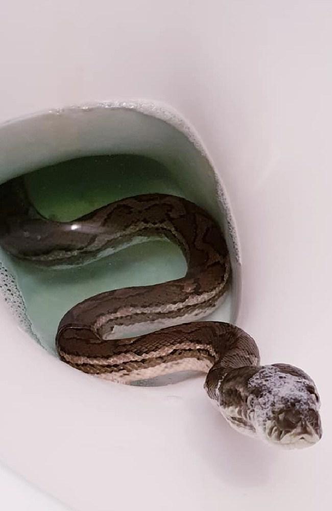 The carpet python was curious. Picture: Brisbane Snake Catchers