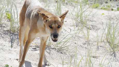 A dingo scavenges for food on the beach a Fraser Island. Photo Lachie Millard
