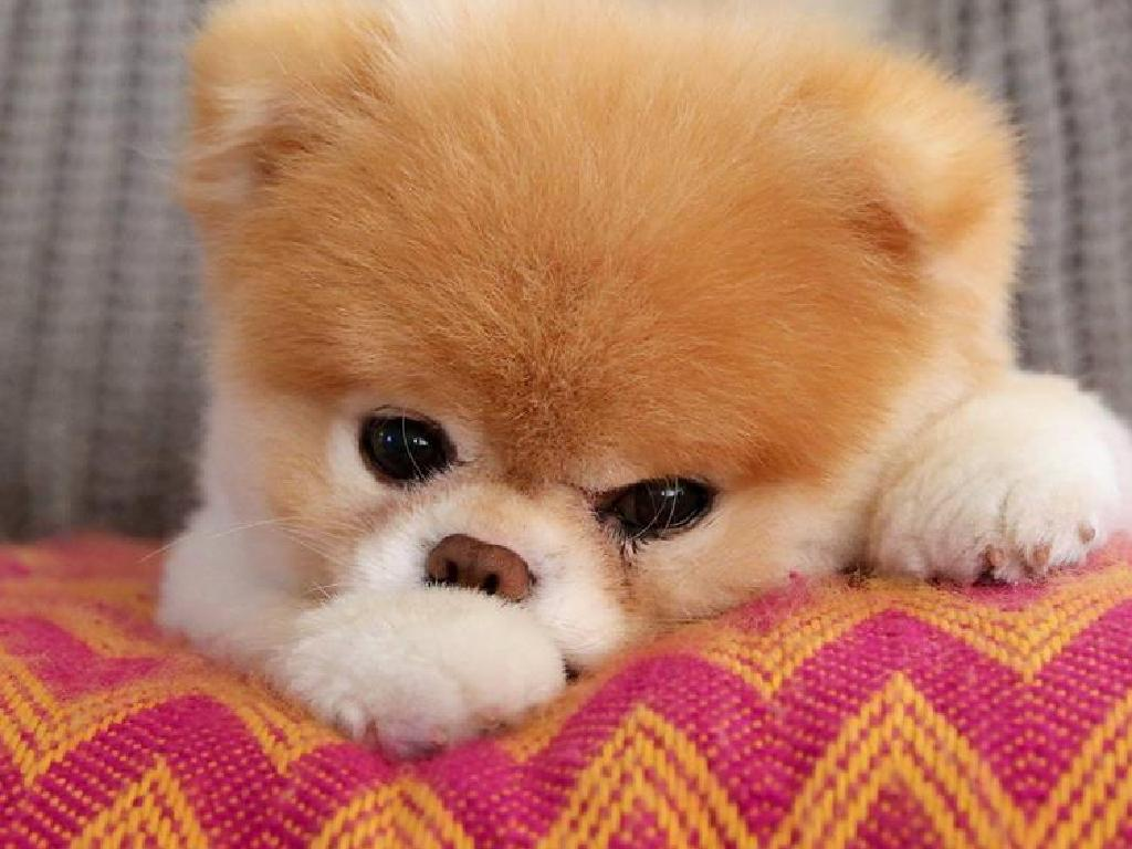 Instagram star Boo the Pomeranian. Picture: Facebook