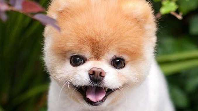 World's Cutest Dog dies of 'heartbreak'