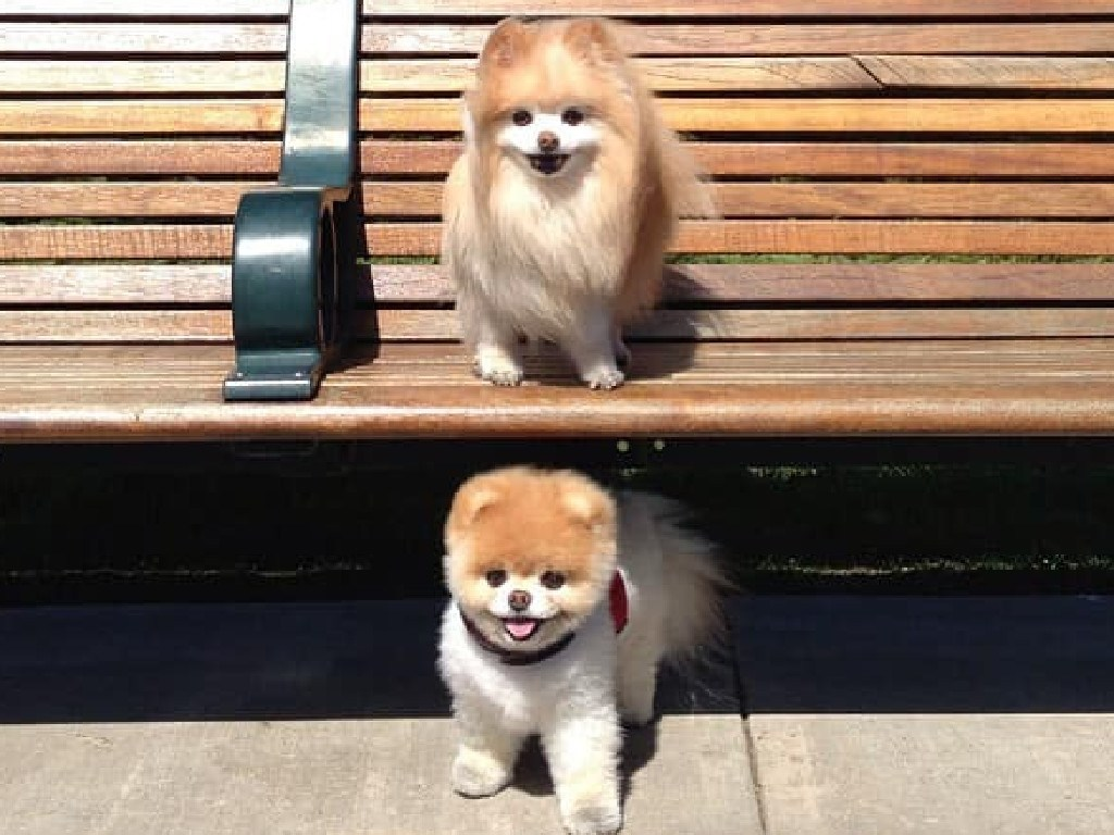 Instagram star Boo the Pomeranian has died after losing friend Buddy last year. Picture: Facebook