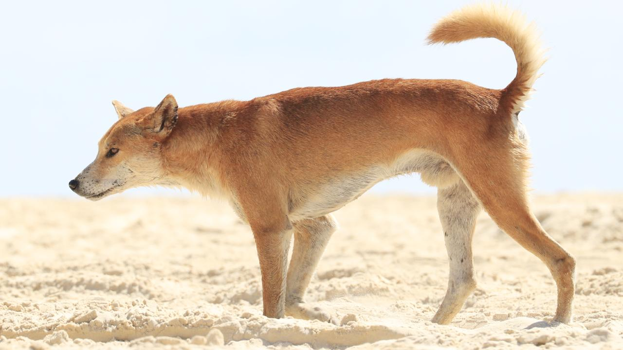A dingo looks for food among four wheel drives on the east coast of Fraser Island. Photo Lachie Millard