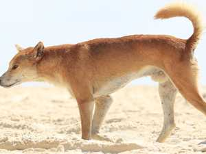 Boy in hospital after dingo attack