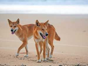Move the animals or ban the campers on Fraser Island
