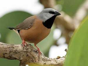 How a finch could stop Adani's Carmichael mega-mine
