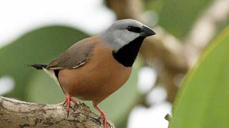 The Adani coal mine will put an endangered finch on a fast track to extinction, experts trying to save it have warned the federal government. The southern black-throated finch will lose prime habitat to the Carmichael coal mine in Queensland's Galilee Basin and Adani's plan to offset those effects are grossly inadequate, the Black-throated Finch Recovery Team warns in a new report.