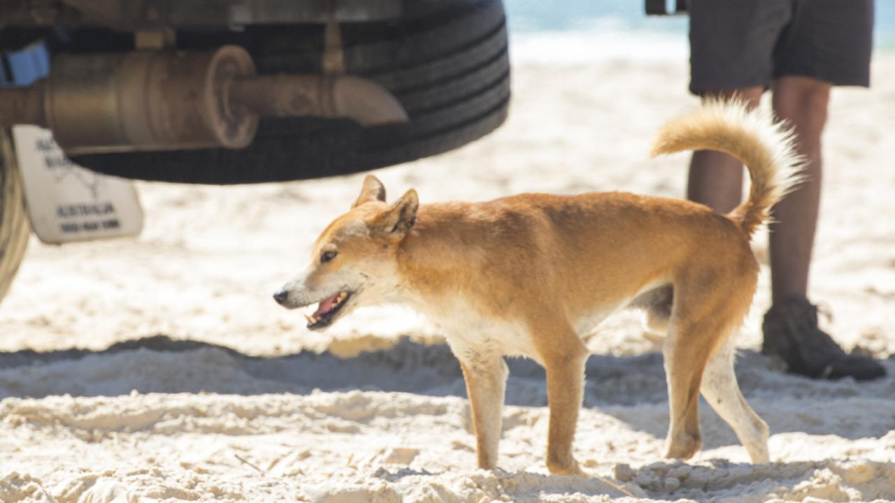 A dingo looks for food among 4WDs on Fraser Island's east coast. Picture: Lachie Millard