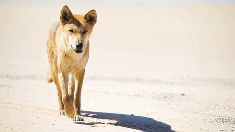About 150 dingoes are believed to live on Fraser Island. Picture: Lauren Bath/Tourism and Events Queensland.