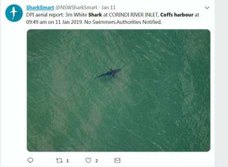This sizeable white shark was spotted by aerial patrols of the coast near Red Rock earlier this month.