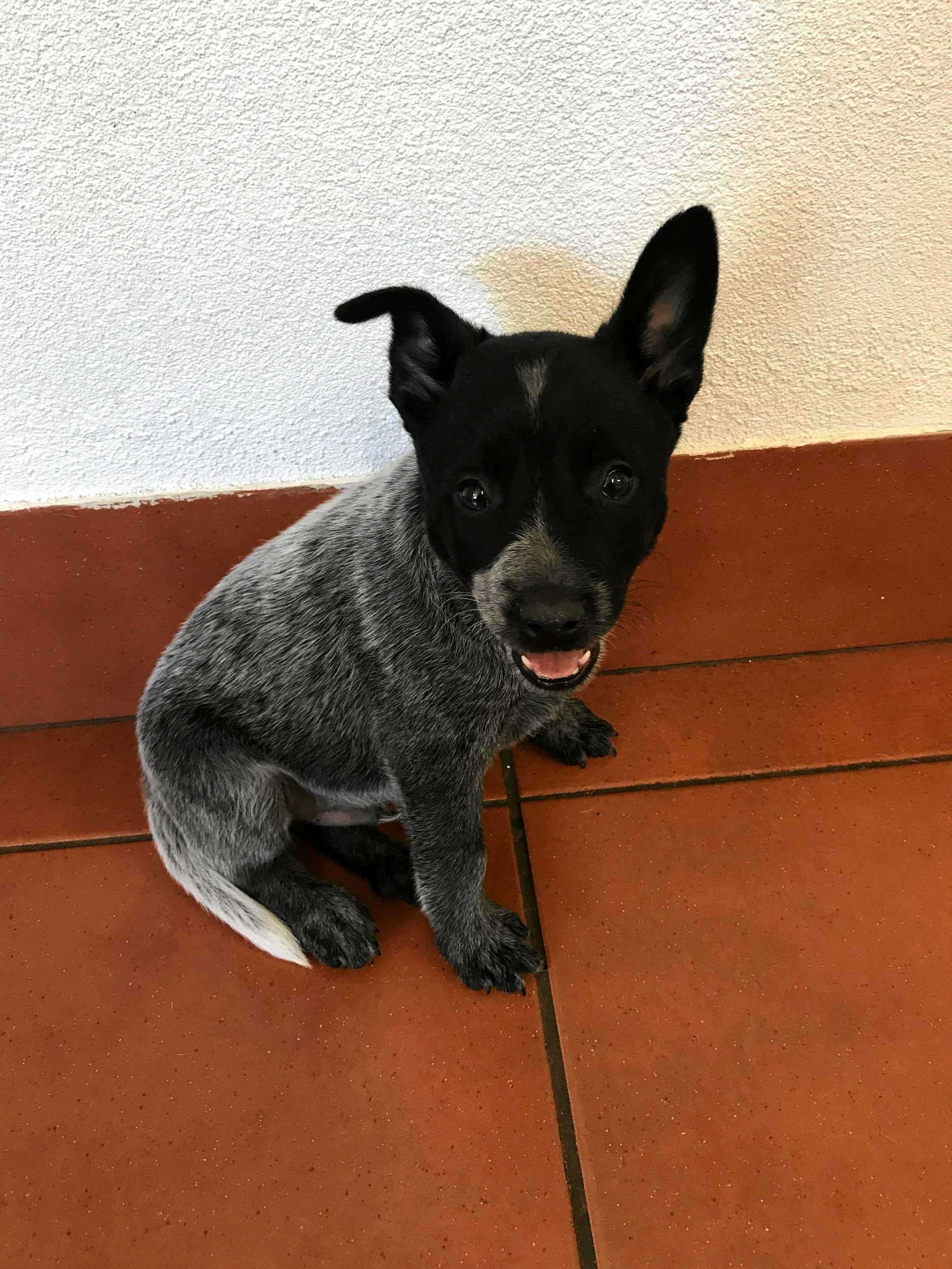 Eight-week-old blue heeler pup Bullet was killed after he was bitten by an eastern brown snake.