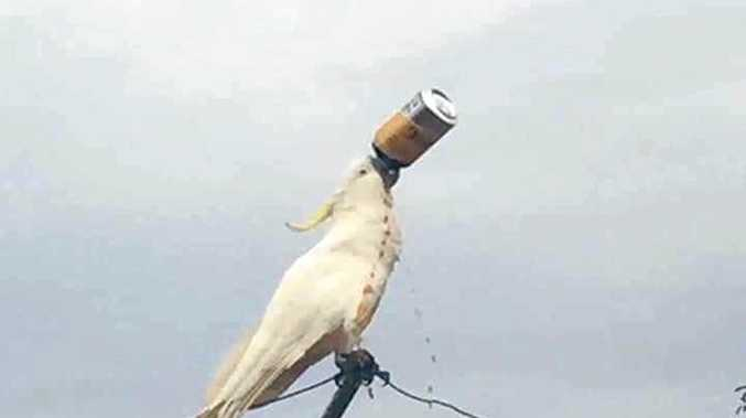 HOW AUSTRALIAN: Mark Smith posted this photo of a cockatoo sculling a can of Bundy Rum on a Hills Hoist, just before Australian Day.