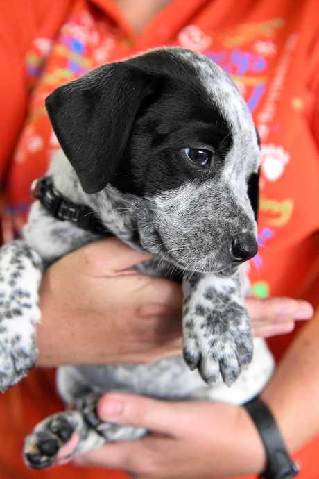 ON SHOW: Duke is an eight-week-old male Australian Cattle Dog, Mixed Breed, Great Dane.