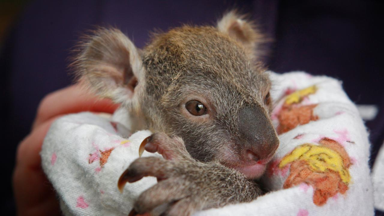 This baby koala was hand raised after it was found in its dead mother's pouch on the Princess Hwy.