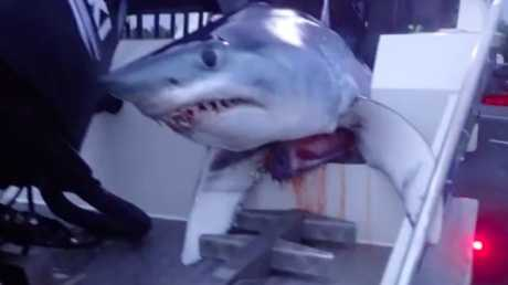A mako shark spotted on the back of a boat in Sydney, shocking motorists. Picture: Seven News