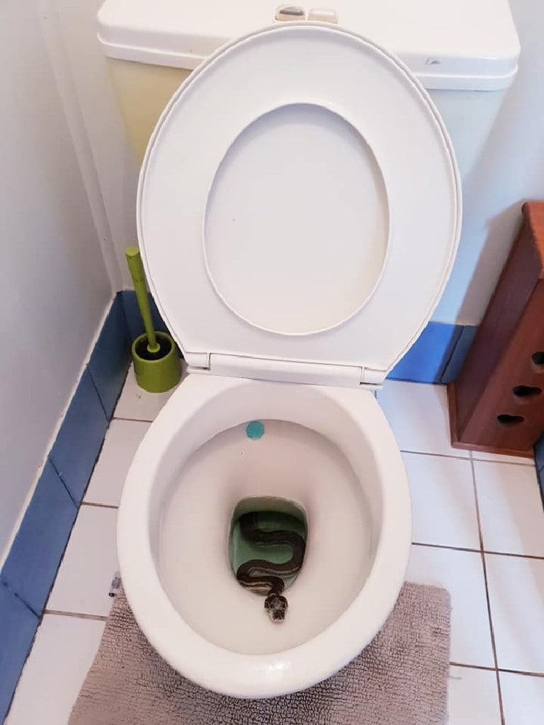 A carpet python took a dip in a Wynnum family's toilet. Picture: Brisbane Snake Catchers/Facebook