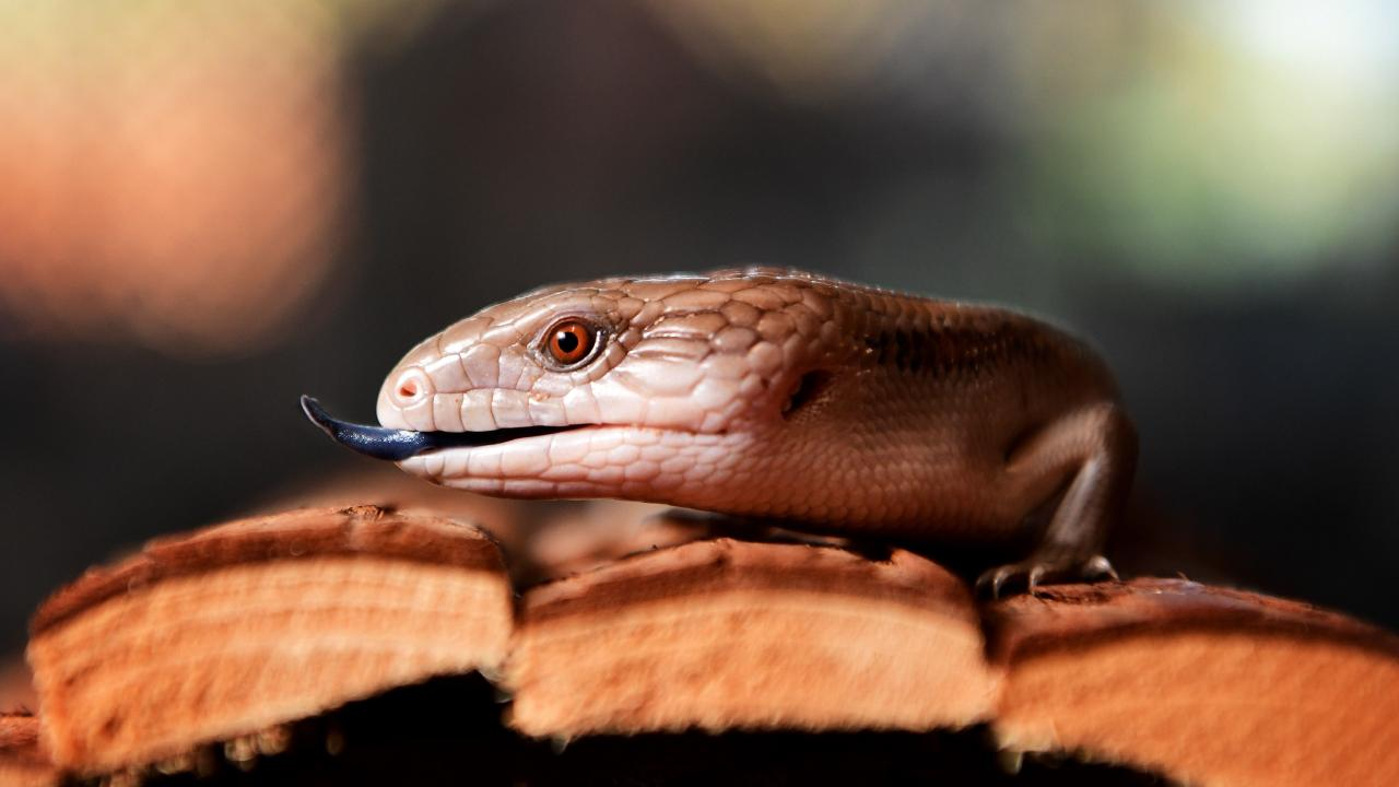 File photo: One of a number of types of blue-tongue lizard found in Australia. in 2019. Picture: Justin Kennedy