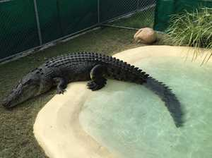Colossal Proserpine croc