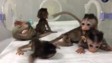 A scientific experiment in China where five macaques monkey were deliberately cloned with genetic defects have outraged animal rights groups. Picture: Science China Press Picture: Science China Press