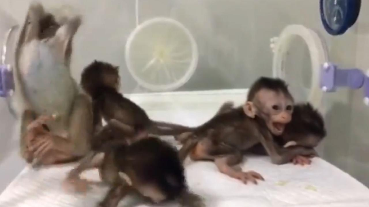 The cloned baby monkeys have increased anxiety, depression, sleeping problems and are displaying schizophrenia-like behaviour. Picture: Science China Press