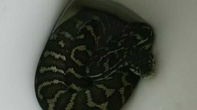 A 1.6m carpet python greeted Helen Richards when she took at a look in the toilet bowl. Picture: Helen Richards
