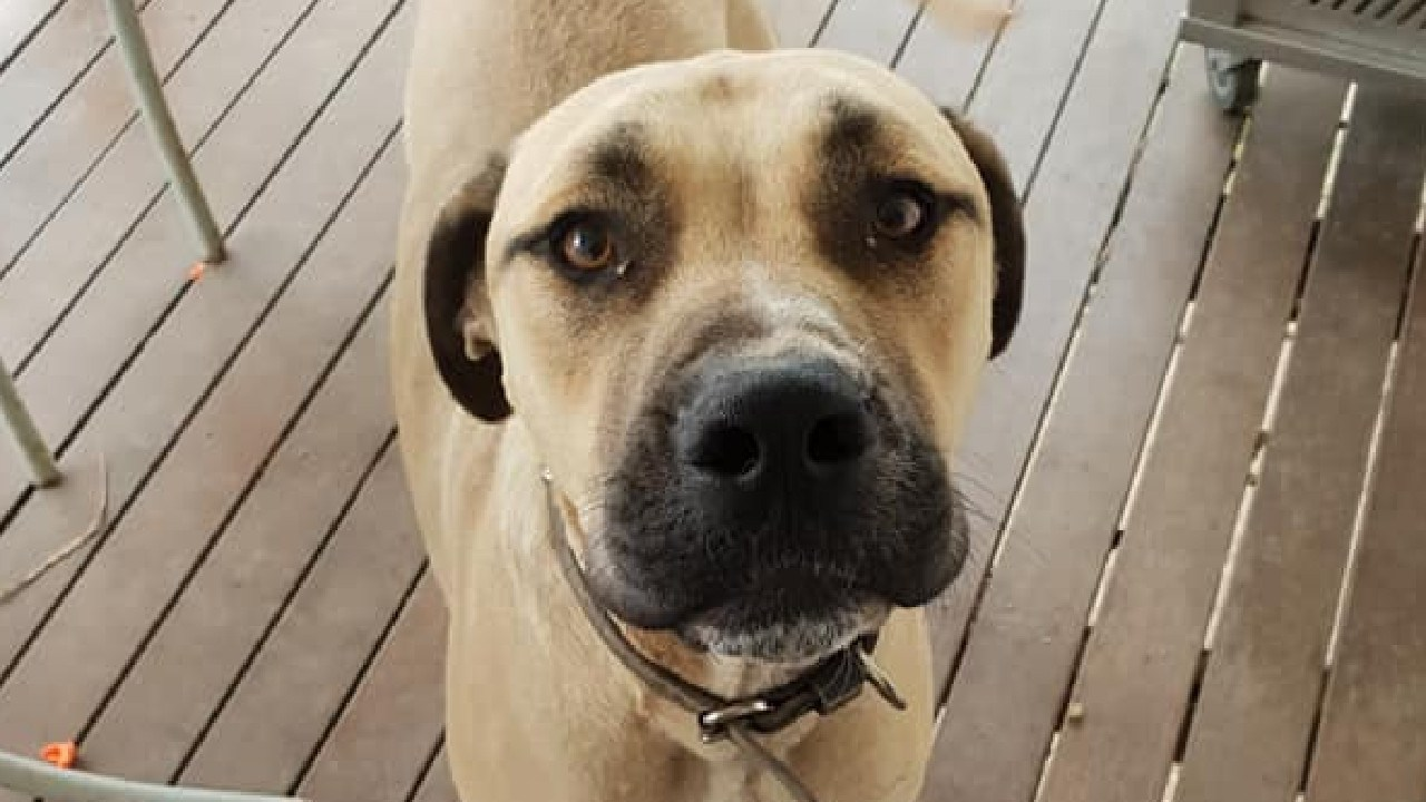 Matthew Bowdler's ridgeback/bull arab cross Cerby went missing January 17, 2019, from an address on Red Hill Rd, Banyo. He was found the next day covered in silver spray paint and has been timid and cowering since.