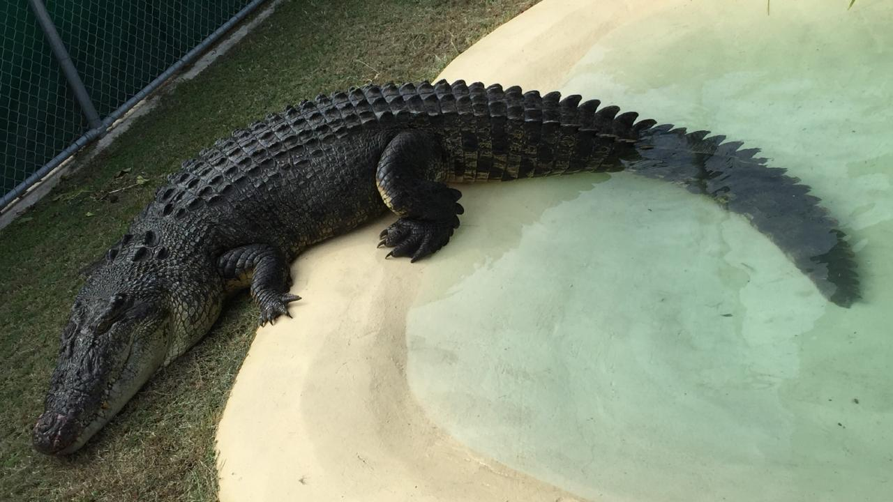 Wildlife officers have removed a 4.5m crocodile from the Proserpine River.