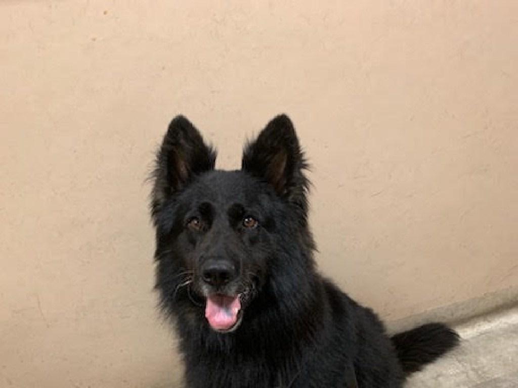 German shepherd Rocky helps catch Essendon criminals