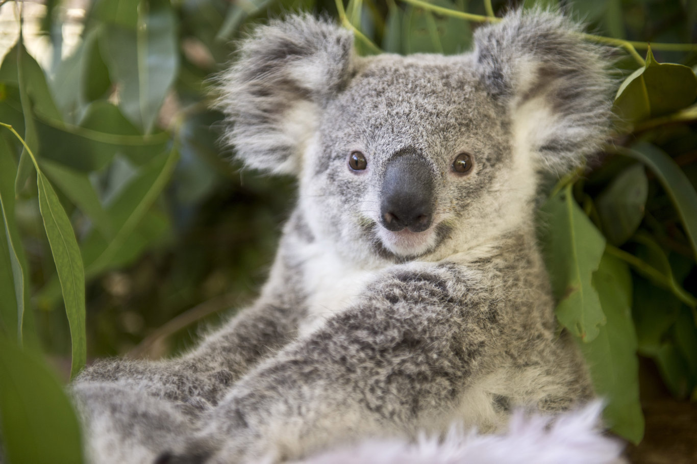 Approximately 85 per cent of the koala habitat in the Groom electorate is destroyed.