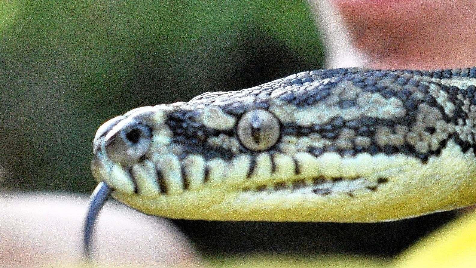 A coastal carpet python, one of the most commonly found snakes in the region. Photo Mike Richards / The Observer