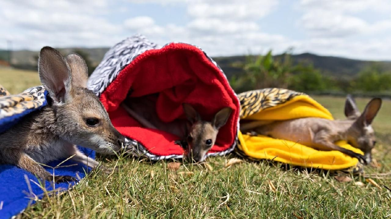 Bribie and District Wildlife Rescue, now named Wildlife Rescue Queensland, saw a vast increase in the number of wallabies and kangaroos being rescued and placed in care in 2018.