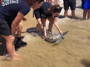 Green sea turtle released at Mooloolaba beach