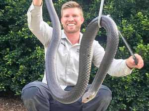 Biggest brown snake recorded on Coast caught in shed
