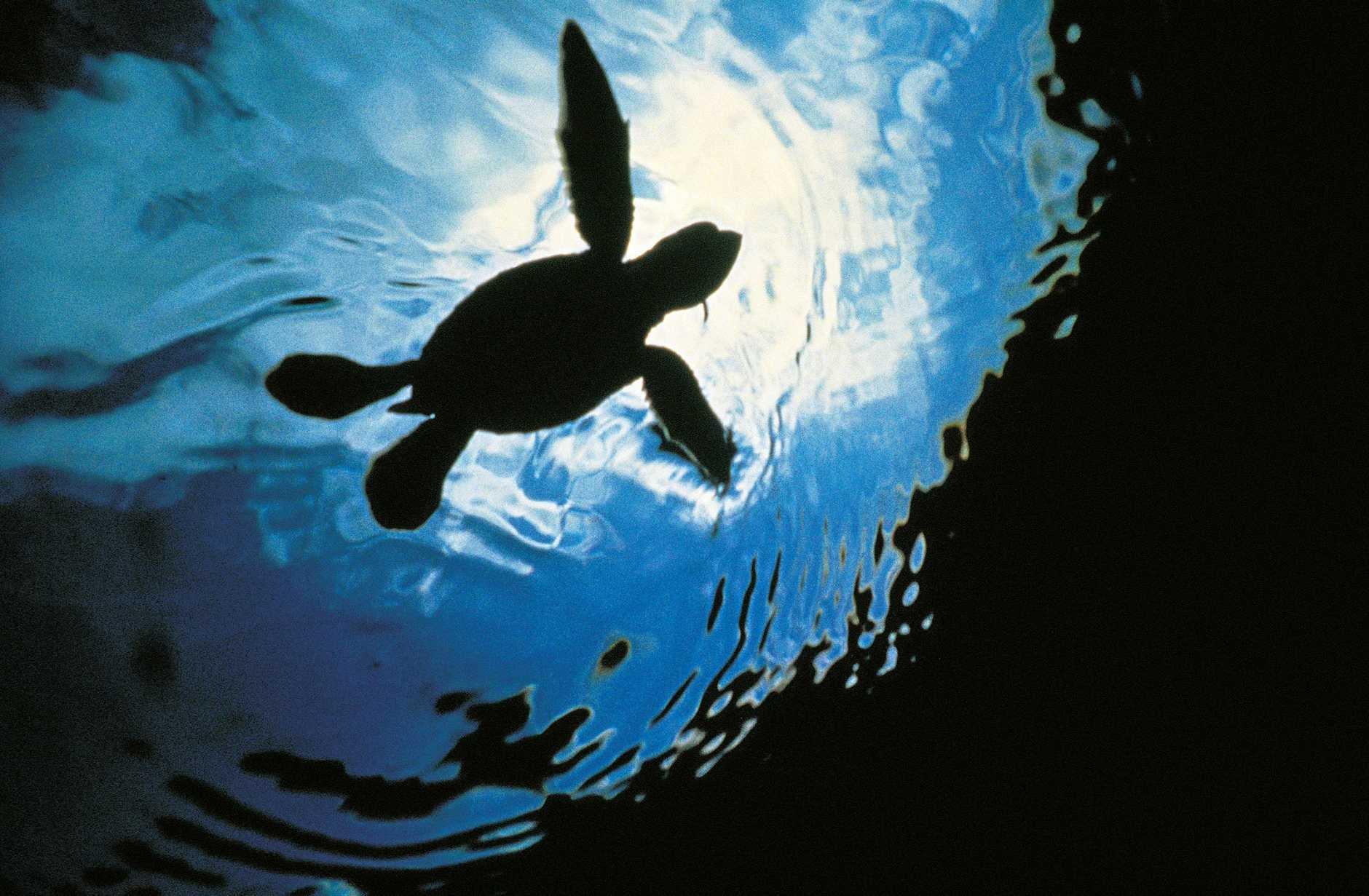 A loggerhead turtle hatchling.