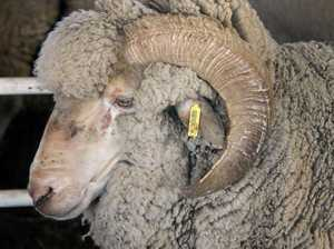 Council seeks owner of found ram