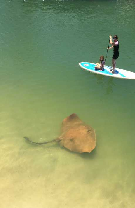 Lisa Kissick photographed this massive stingray on Sunday in Noosa.