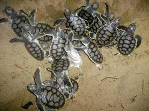 Turtle season a success despite fewer nests