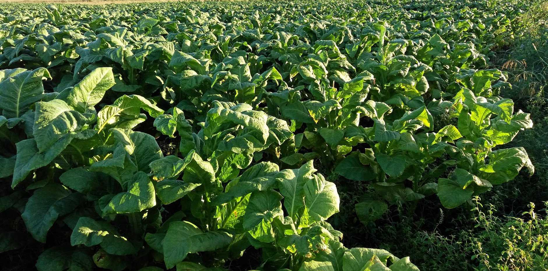 UPDATE: New details have been revealed almost a year after Australian Taxation Office and Queensland Police Service officers found 21.6 hectares of illegal tobacco growing in the Bundaberg region.
