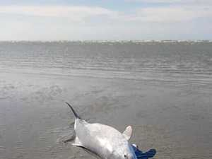Rare dolphin washes up on Dundowran Beach