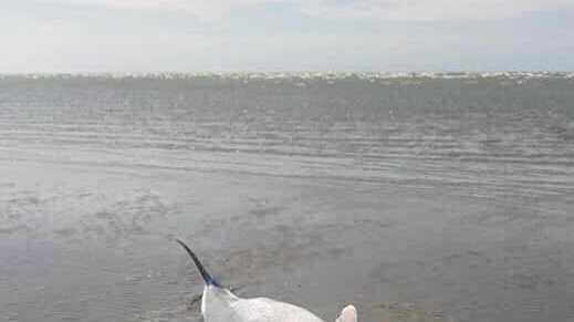 SAD SIGHT: Humpback dolphin washed up on Dundowran beach.